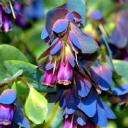 Cerinthe major pupurescens ( Honeywort ) Pride of Gibraltar 1 gram - 50 grams